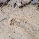 Bushcraft Rewilding Tracking Footprint
